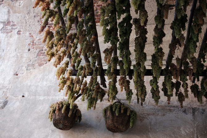 Grapes hanging in Porta Verona of Soave